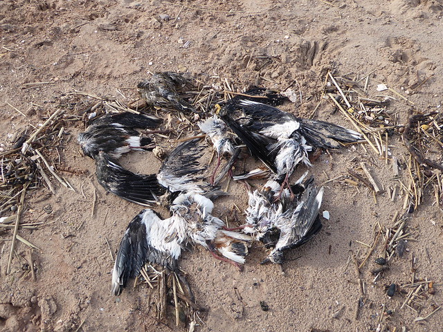 Dead lapwings at Dawlish Warren