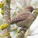 northern flicker, this photo got his red spot on the back of his head.