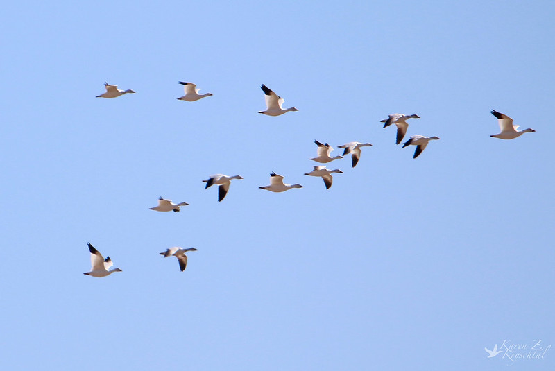 IMG_1624SnowGeese