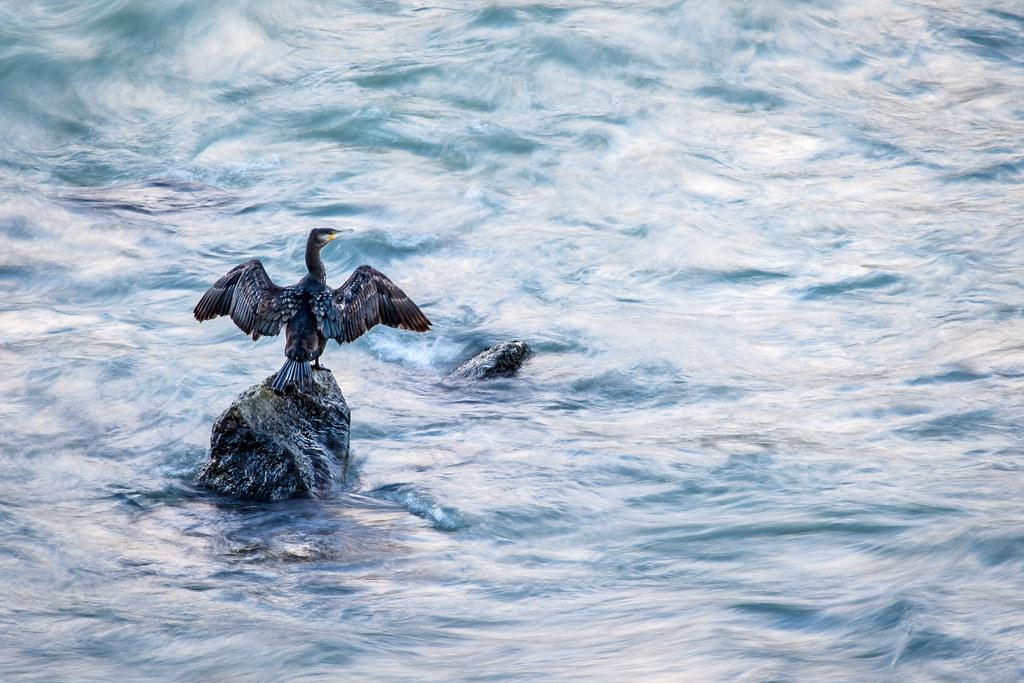 cormoran seul sur son rocher