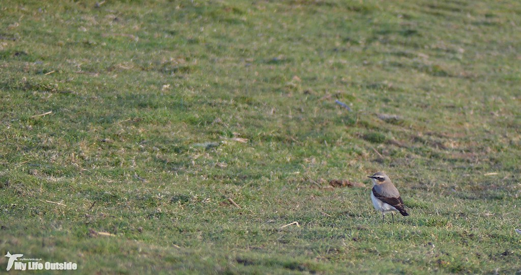 P1130893 - First Wheatear of 2018
