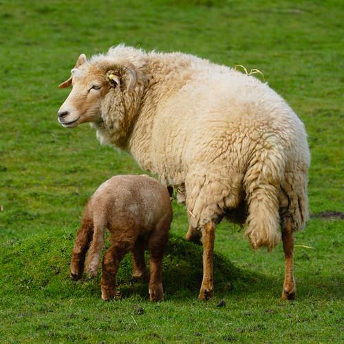 Ewe and lamb: food choice