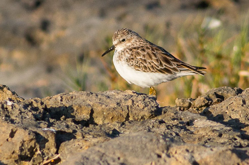 least sandpiper - maybe