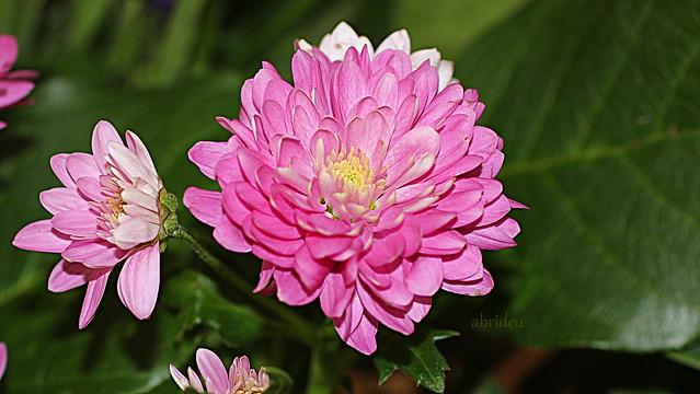 Chrysanthemum, Canon EOS 100D, Canon EF 50mm f/2.5 Macro