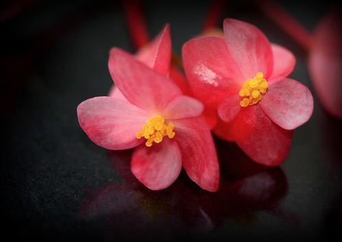 Begonia maculata et horticoles - bégonia bambou 25877048307_0fb03bf05a