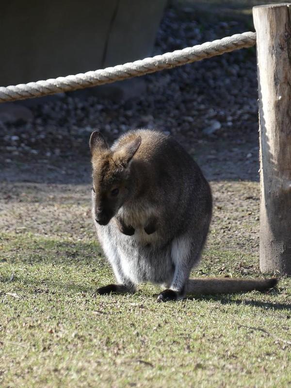 Känguru, Zoo Karlsruhe