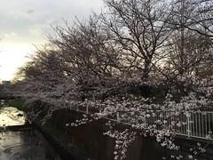 Cherry blossom (Sakura) at Sengawa Park, Mitaka
