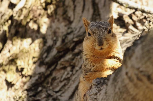 Squirrel, Cantigny Park. 55 (EOS)