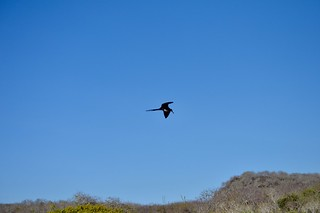 Frigate Bird in Flight