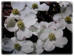 Gorgeous white flowers of Cornus florida (Flowering Dogwood, White Dogwood Tree), March 2018