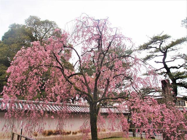 daigoji-sakura023