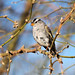 Small photo of White Crowned Sparrow
