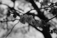 Prunus mume (Japanese apricot) tree in bloom, National Bonsai and Penjing Museum