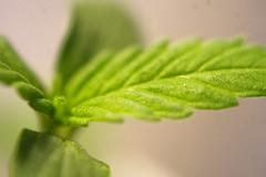 Autocultivo pequeña planta cannabis 15