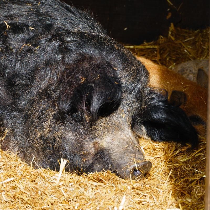 Mangalitza sow and piglets, Mary Arden's Farm, Wilmcote