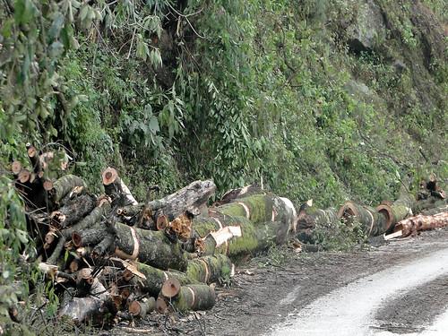 चमोली-कर्णप्रयाग हाईवे पर विकास की बलि चढ़ते पेड़