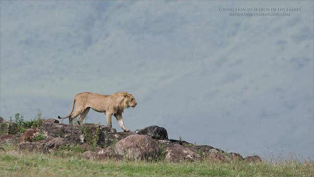 Young Lion in Search of his Family