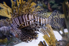 Lionfish at Ripley's Aquarium
