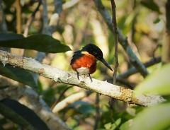 American Pygmy Kingfisher. Chloroceryle aenea