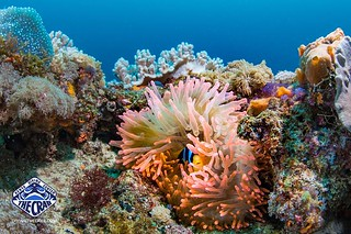 Neon pink/orange anemone with resident clownfish at Chale