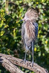 Reddish Egret Crown Up