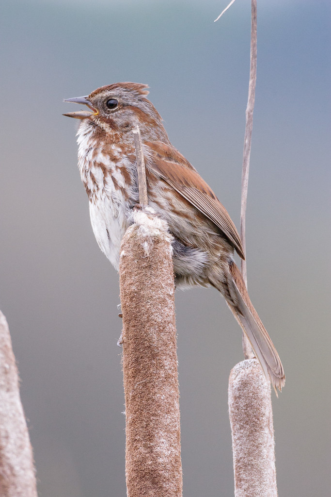 A song sparrow sings while perched on a cattail at South Quigley Lake in Ridgefield National Wildlife Refuge in Washington