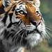 Dragan the Amur Tiger