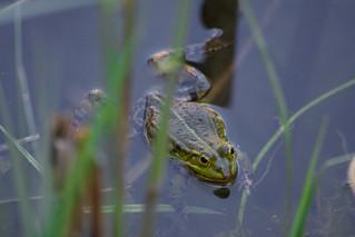 Frog life