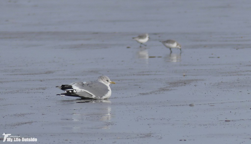 P1130859 - Common Gull, Cefn Sidan