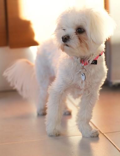 Maltese Puppy Nuppu 017
