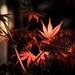 Leaf of the Japanese Maple Tree