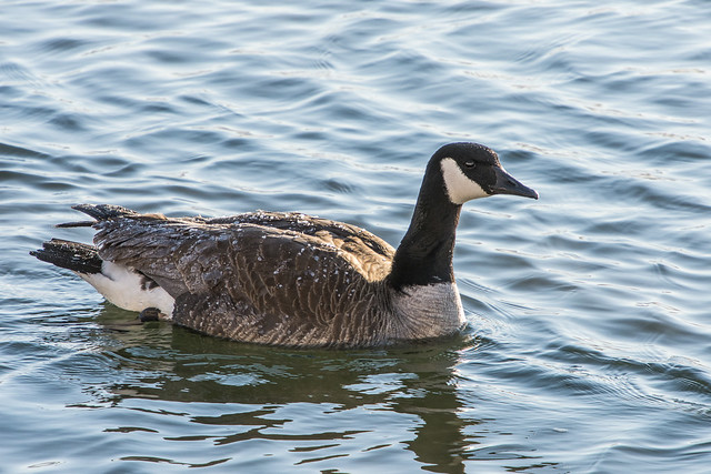 Canada Goose, ice on its back