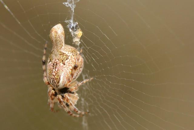 Trashline Orb Weaver spider on its web