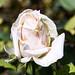 Rose-4971