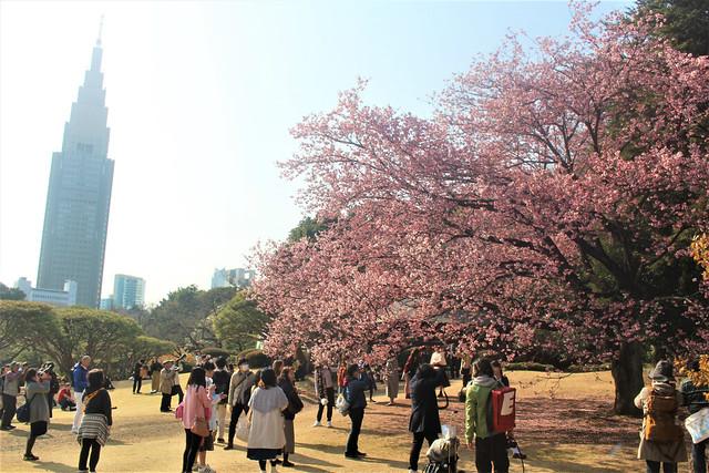 shinjukugyoen-sakura0313043