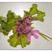 geraniums by mhugo@hermanus.co.za