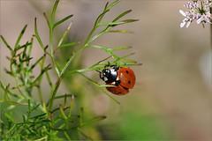 Жуки (Beetles)