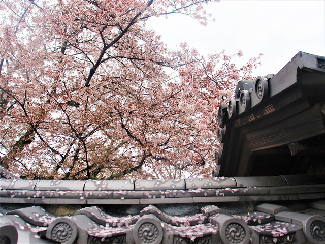 daigoji-sakura012