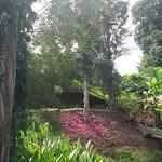 Syzygium malaccense tree