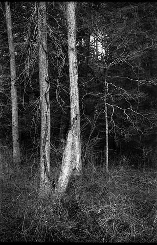 forest trees grasses dried trampled biltmoreestate asheville northcarolina kodak kodakretinaiiic retina aristaedu200 ilfordilfosol3developer 35mm film rangefinder landscape blackandwhite monochrome monochromatic