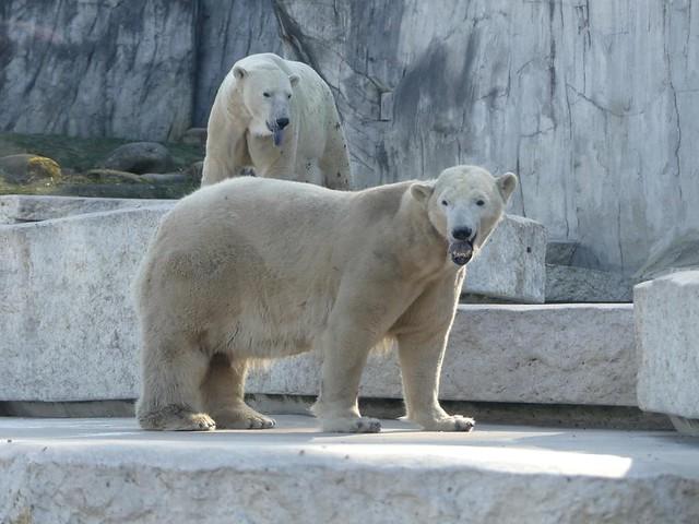 Eisbär Nika und Kap, Zoo Karlsruhe