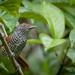 Choca-listrada (Thamnophilus palliatus) Chestnut-backed Antshrike