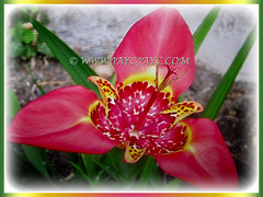 Tigridia pavonia (Mexican Shell flower, Tiger Flower, Jockey's Cap Lily, Peacock Flower, Tiger Iris/Flower) flower covered with red speckles in the center, March 10 2018