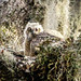 Baby Great Horned Owl by Jane's Adventure