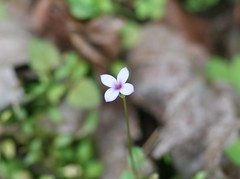 Star Bluet (Houstonia pusilla)