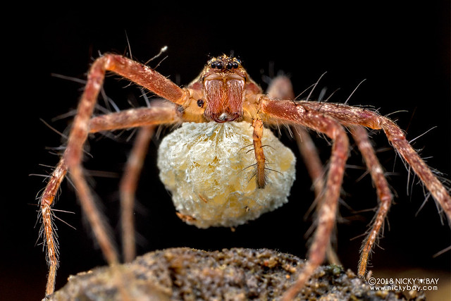Nursery web spider (Pisauridae) - DSC_8327