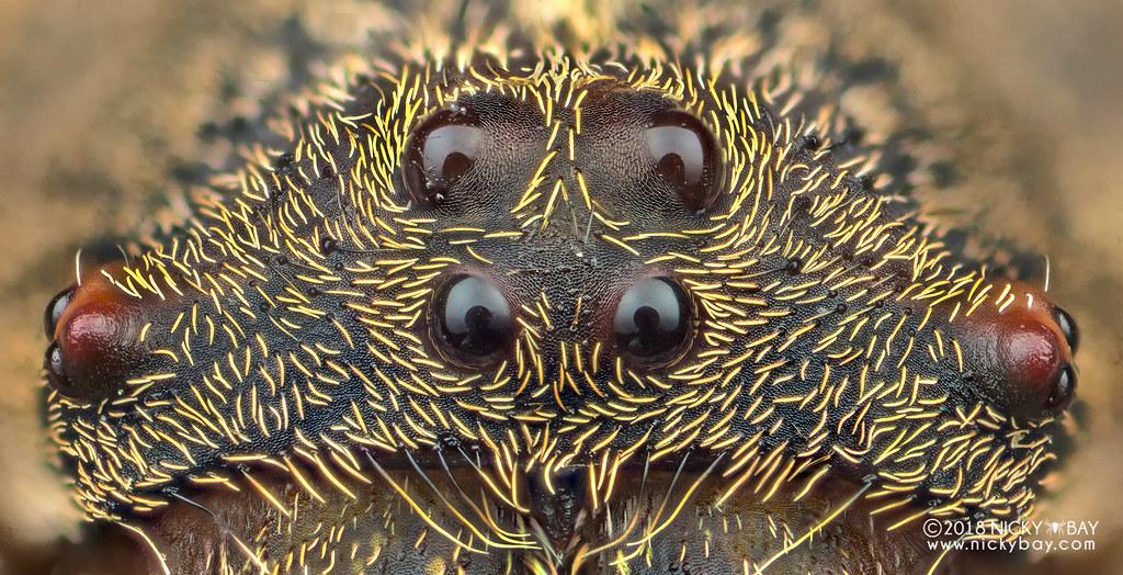 Wrap-around orb weaver (Talthybia sp.) - DSC_9531
