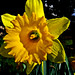 IMG_5678 - Daffodil - Southampton - 07.03.18