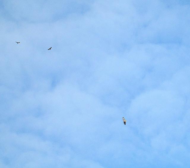 3 Buzzards