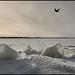 Ice Raven
